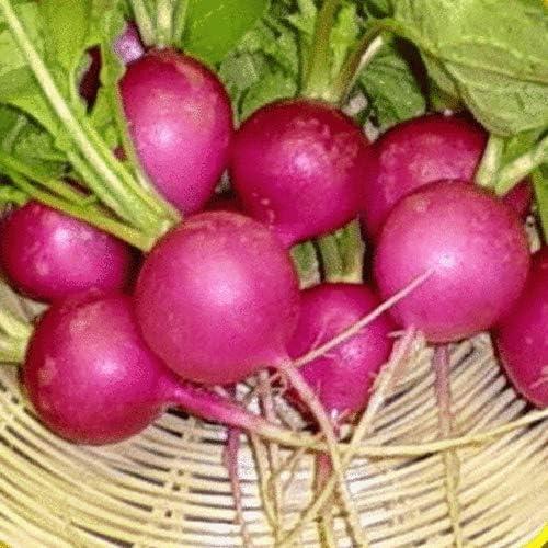 300 Purple Plum Deluxe Radish Ranking TOP10 Seeds