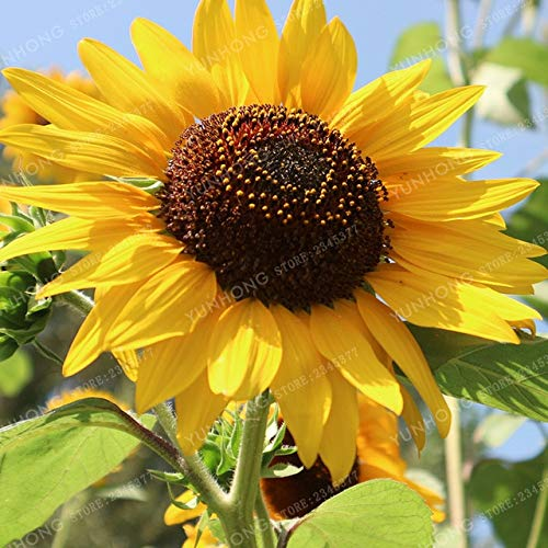 Bloom Green Co. 20 Pcs/Bag Sunflower Bonsai For Planting Bonsai Flower Sunflower Bonsai 10 Colours Natural Growth For Home Garden Planting: 11