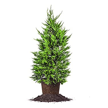 LEYLAND CYPRESS TREE - Size: 3-4 ft, live plant, includes special blend fertilizer & planting guide