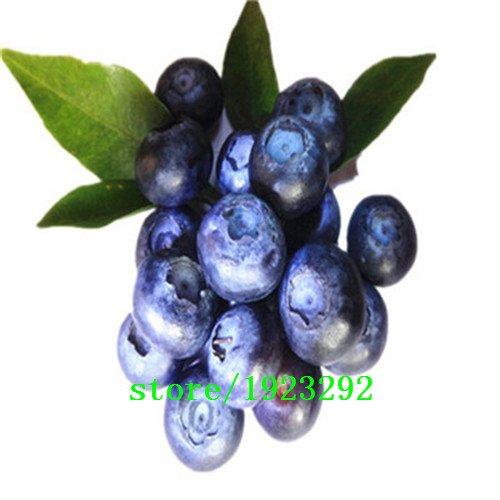 Big promotion Un pack 100 Pcs Blueberry Arbre Graine Fruit Myrtille semences pot Bonsaï Graines