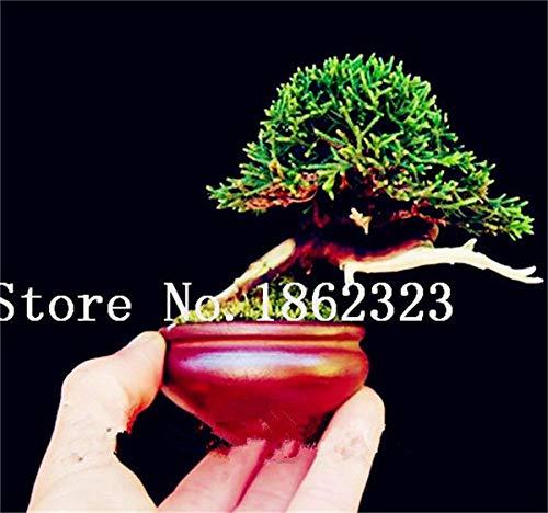 Shopmeeko Graines: 60 Pcs Rare coloré Juniper Bonsai Starter Arbre japonais -Juniperus PROCUMBENS & # 39; Nana & # 39; Plante en pot pour jardin Plante en pot: 3