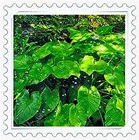 クワズイモ クワズイモ球根 デスクトップの花 初心者向き いい匂い 装飾 カラフル-3球根,緑