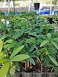 FERRY Graines Bio Seulement Pas de Plantes: Cinq: !! Zamia loddigesii Cycas - PM sagou Cycas encephartos