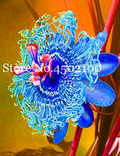 Bloom Green Co. 50 Pcs Passion Flower Bonsai (Passiflora incarnata), arc-en-Fleur Plante Passion Fruit exotique grenadille pour jardin: 10