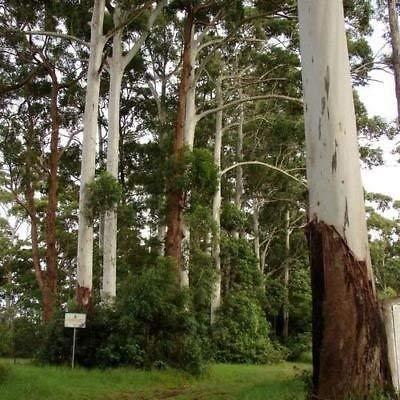 Eucalyptus Rose Graines de gommier (Eucalyptus grandis) 200 + Graines