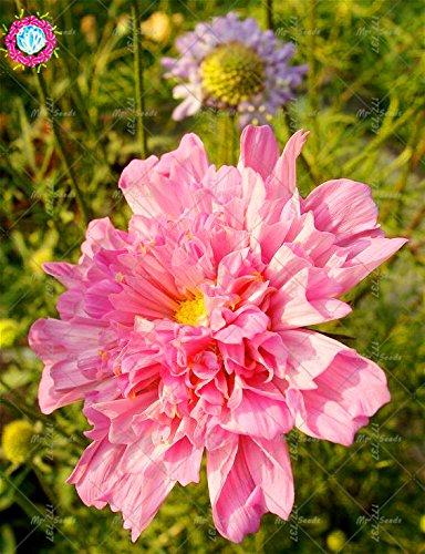 100pcs Rare Bonsai Double Cosmos Graines de fleurs vivaces plantes à fleurs en pot pour jardin Facile à cultiver 5