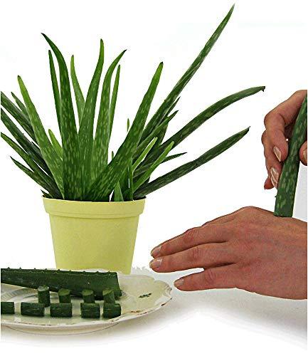 BALDUR-Garten Echte Aloe Vera 1 Pflanze Aloe barbadensis Miller