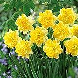 TOMASASeedhouse- 100Pcs Semillas de narcisos raros Semillas de flores multicolores perennes Campanas Flores Semillas Bulbos de flor de hoja perenne para balcón, Jardín