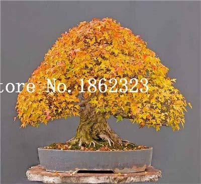 Shopmeeko Graines: Vente chaude! 30 pcs arbre d'érable Bonsa, Bonsaï d'érable bleu Bonsa d'érable japonais, plantes pour jardin et maison Balcon, facile à cultiver: 12