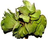 30 x Büschelfarn, Salvina natans, Schwimmpflanze für Gartenteich