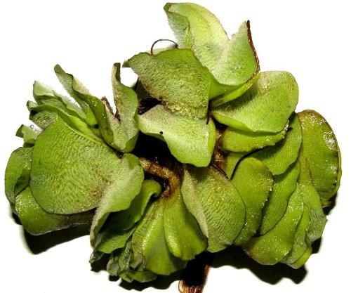 15 x Büschelfarn, Salvina natans, Schwimmpflanzen gegen Algen, Teich