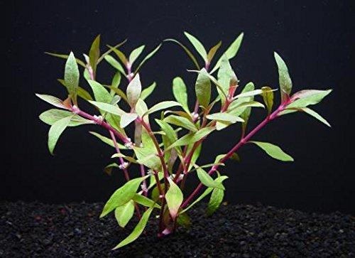 アルテルナンテラレインキー(5本) ◆赤色系 水草 丈夫◆ メダカにも最適