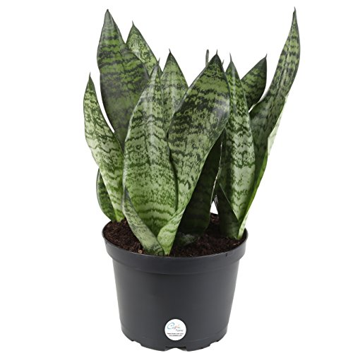 Costa Farms Snake Plant, Sansevieria laurentii, Live Indoor Plant, 2 to 3-Feet Tall, Ships in Grow Pot, Fresh From Our Farm, Excellent Gift