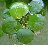 3x grande Amazon frogbit/Limnobium Laevigatum/vivir Acuario Plantas de flotante