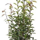 Photinia × fraseri Red Robin