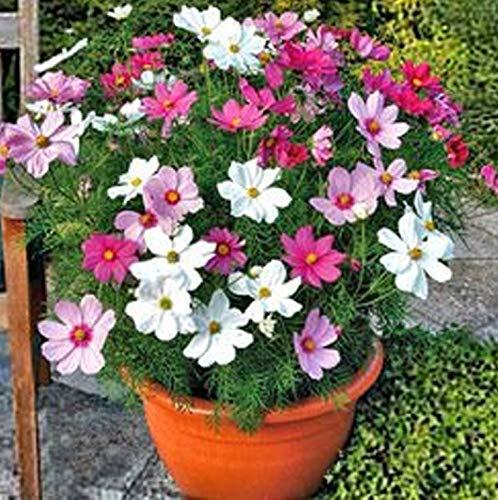 Raritäten Schmuckkörbchen Cosmos Bipinnatus Blumensamen 50Pcs, Cosmea Bipinnata Fiederblättrige Schmuckblume Saatgut Sommerblumen Pastelltöne Bienenwiese Blumenwiese für Garten Balkon Terrasse
