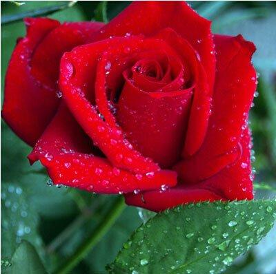 200pcs / Pack Rare Pays-Bas Rainbow Rose Flower Seed Outdoor Blooming Bonsai Plante en pot décoratif Decor Garden Livraison gratuite 11