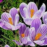 6 piezas de bulbos de azafrán azafrán perenne fácil planta flores perfumadas otoño floración fácil cosecha no requiere mucha habilidad adecuado para jardineros novatos