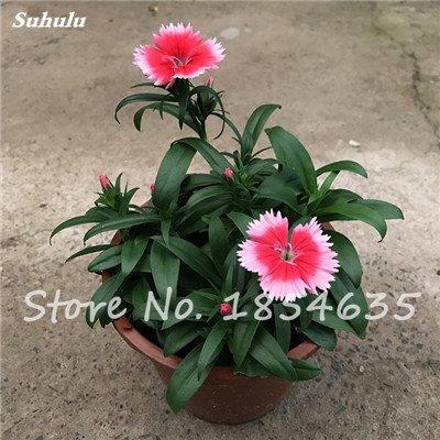 Inde importation Œillets Seed Dianthus caryophyllus Embellir et de purification d'air bricolage jardin Plantation maman cadeau 120 Pcs 10