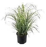 Premier Plant Solutions 16258 Zebrinus/Zebra Miscanthus Grass, 3 Gallon, Green
