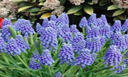 Hyacinth, Grape, Bulbs (10 Pack), Beautiful Purple Perennial Hyacinth...