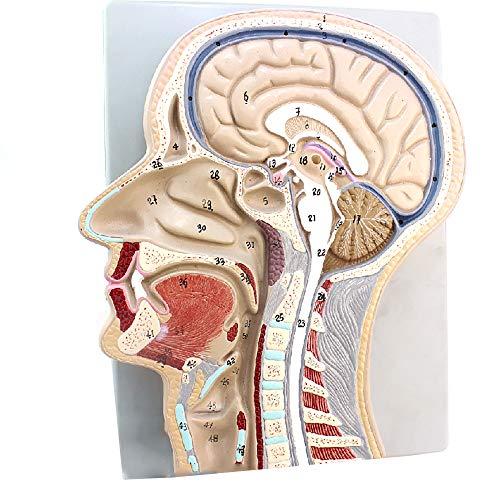 LMEIL Human Model of Functional Brain, Brain Model, Medical Teaching Model Head Section Model, Human Medical Median Sagittal Tomographic Specimen