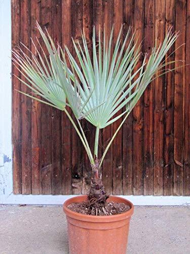 Palmenst. Echtpflanze, Brahea armata - Blaue Hesperidenpalme 60-80cm (907910001)