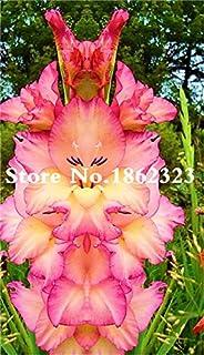 GEOPONICS Semillas: Multi-Color gladiolo de flores (No Gladiolo Bulbos), el 95% de germinación, bricolaje aeróbico en maceta, Rare gladiolo Bonsai Flor-120 PC: 19