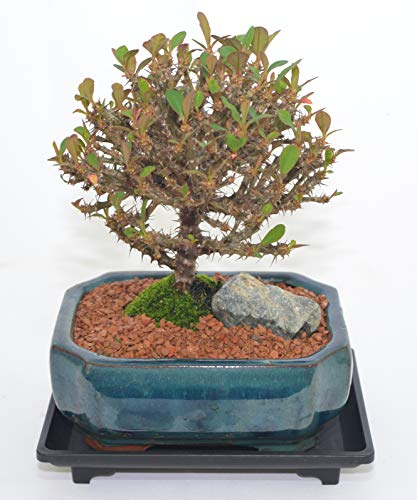 Indoor Bonsai, Crown of Thorn, Broom Style, Pink Flowers, 5 Years Old with Free Watering Tray