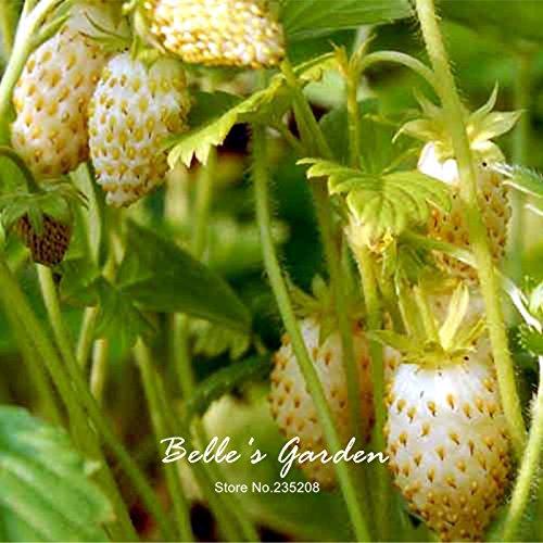100pcs 9 variétés Choix Strawberry Graines Fraise Fruit Graines pot Bonsai Balcon Patio Jardin usine de bricolage jaune Wonder