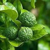 コブミカンの苗木(タイ料理には欠かせない)【果樹 2年生挿し木苗 15cmポット大苗/1個】ポット苗なので年中植付け可能!!コブミカンの葉は東南アジア料理には欠かせないハーブとして用いられているみかんの葉でタイではバイマックルーと呼ばれ、木にはちゃんとみかんも成ります。名前の由来にもなっているように、木になるみかんは表面がごつごつしたこぶだらけの、日本でもある獅子柚子をカボスサイズにしたような感じです。このみかん自体も香酸柑橘として香り付けなどに使われています。人気の果樹苗を自社農場から新鮮出荷!!【即出荷】