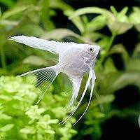 (熱帯魚)プラチナホワイトベールテール・エンゼルフィッシュ(国産ブリード)(1匹) 北海道・九州航空便要保温