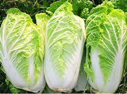 SANHOC 1: 4270 Samen Chinakohl Thai Gemüsegarten Pflanze Chia Tai Küche Kochen