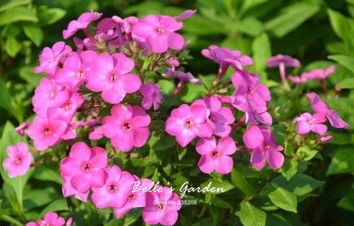 100pcs multi-couleurs Variété Verveine Graines Hardy Plantes Graines de fleurs exotiques Fleurs ornementales Bonsai Graines 01