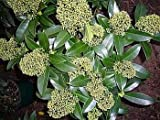 Skimmia japonica Fragrant Cloud - Japanische Skimmie Fragrant Cloud -