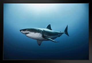 Poster Foundry Great White Shark Swimming in Pacific Ocean Photo Art Print by ProFrames Framed in Black Wood 20x14 inch Black 149015