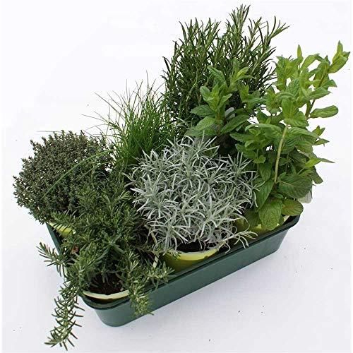 Kräuterkiste Mediterran - 6 Kräuterpflanzen im Topf 14, Rosmarin stehend & hängend, Silberthymian, Schnittlauch, Currykraut und Hugo-Minze - Kiste mit 6 Pflanzen