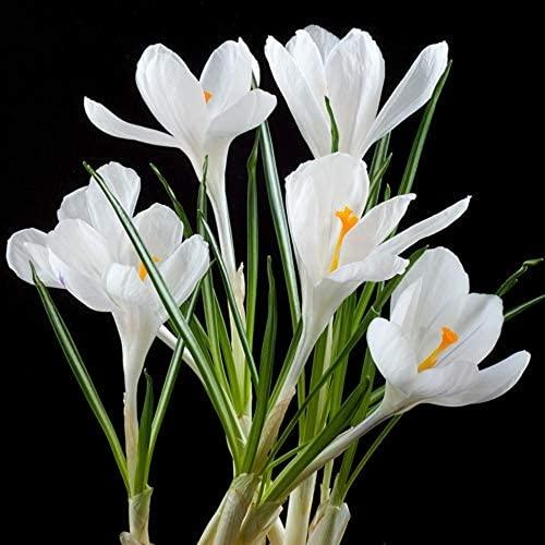 10 Stück Weißer Safran Zwiebeln Für Gartenbalkon Im Freien Hof Pflanzen Mehrjährige Erbstück Krokus Herbst Blühen Hohe Keimrate Geeignet Für Anfänger
