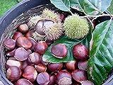 Vistaric 60 unids/bolsa Japonés Castaña de Agua Semillas Crecimiento Natural Forma de Cuerno de Buey Nutrientes Ricas Plantas Acuáticas Balcón Bonsai Planta