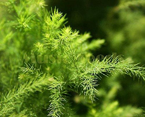 1bag = 30pcs vente chaude CHINOIS graines BAMBOU rare Asparagus Fern graines mini arbres propres semences d'air bonsaï décoration Maison & Jardin