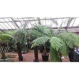 Baumfarn 30-50 cm 3 Pflanzen Dicksonia antarktica - Ein Relikt aus der Urzeit