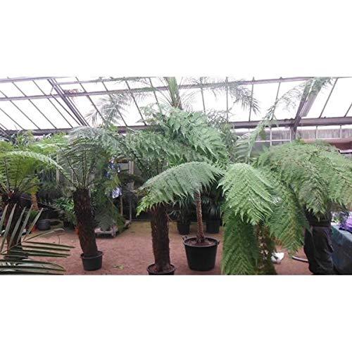 Baumfarn 20 cm 1 Pflanze Dicksonia antarktica - Ein Relikt aus der Urzeit