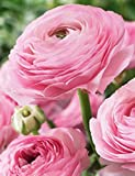 20 Renoncules roses