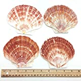PEPPERLONELY 6 PC Large Great Scallop Sea Shells, Irish Flat Shells, 4 Inch ~ 5 Inch