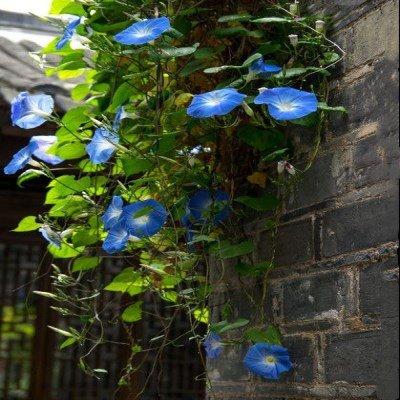 100pcs escalade noir graines de pétunia graines de fleurs melissa originales fleurs vivaces pour la plantation en pot bonsaï jardin maison pétunia 10