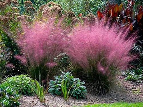 AMERICAN PLANT EXCHANGE Muhly Ornamental Grass Live Indoor Outdoor Plants, 6' Pot, with Pink Flowers