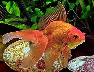 Fantail Goldfish 2-3 inches - Live Freshwater Aquarium Fish