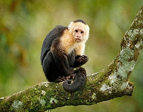 HASENCIV Pintura de Diamante DIY para Adultos Mono negro capuchino de cabeza blanca sentado en la rama de un árbol en la oscuridad del bosque tropical. Vida Silvestre De Costa Rica Bricolaje