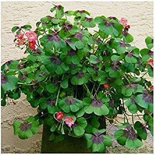 oxalis tetraphylla iron cross