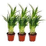 Set of 3 gold fruit palm - Dypsis lutescens (Areca), 12cm